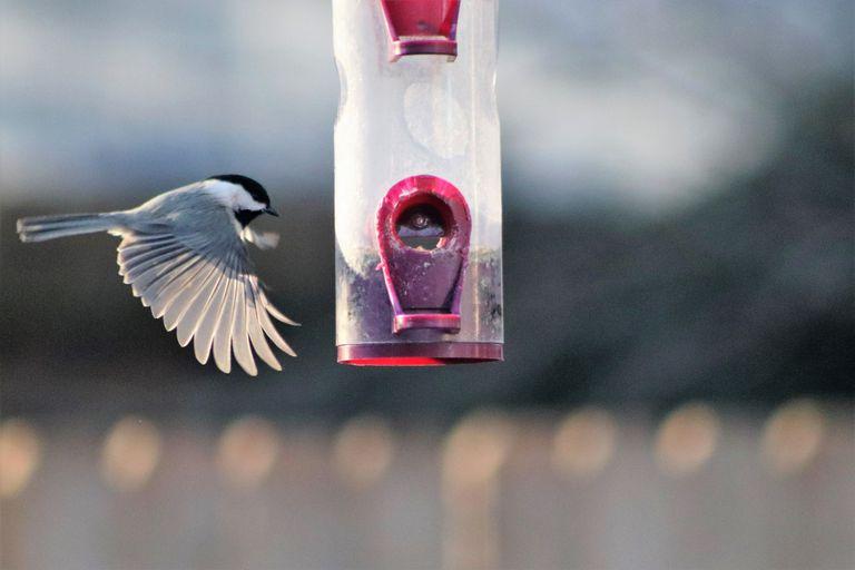Close-Up Of Chickadee Flying