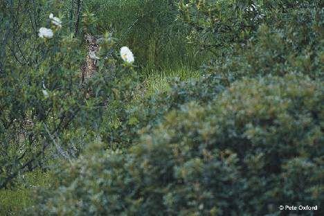 Rare Iberian Lynx hiding copyright Pete Oxford photo
