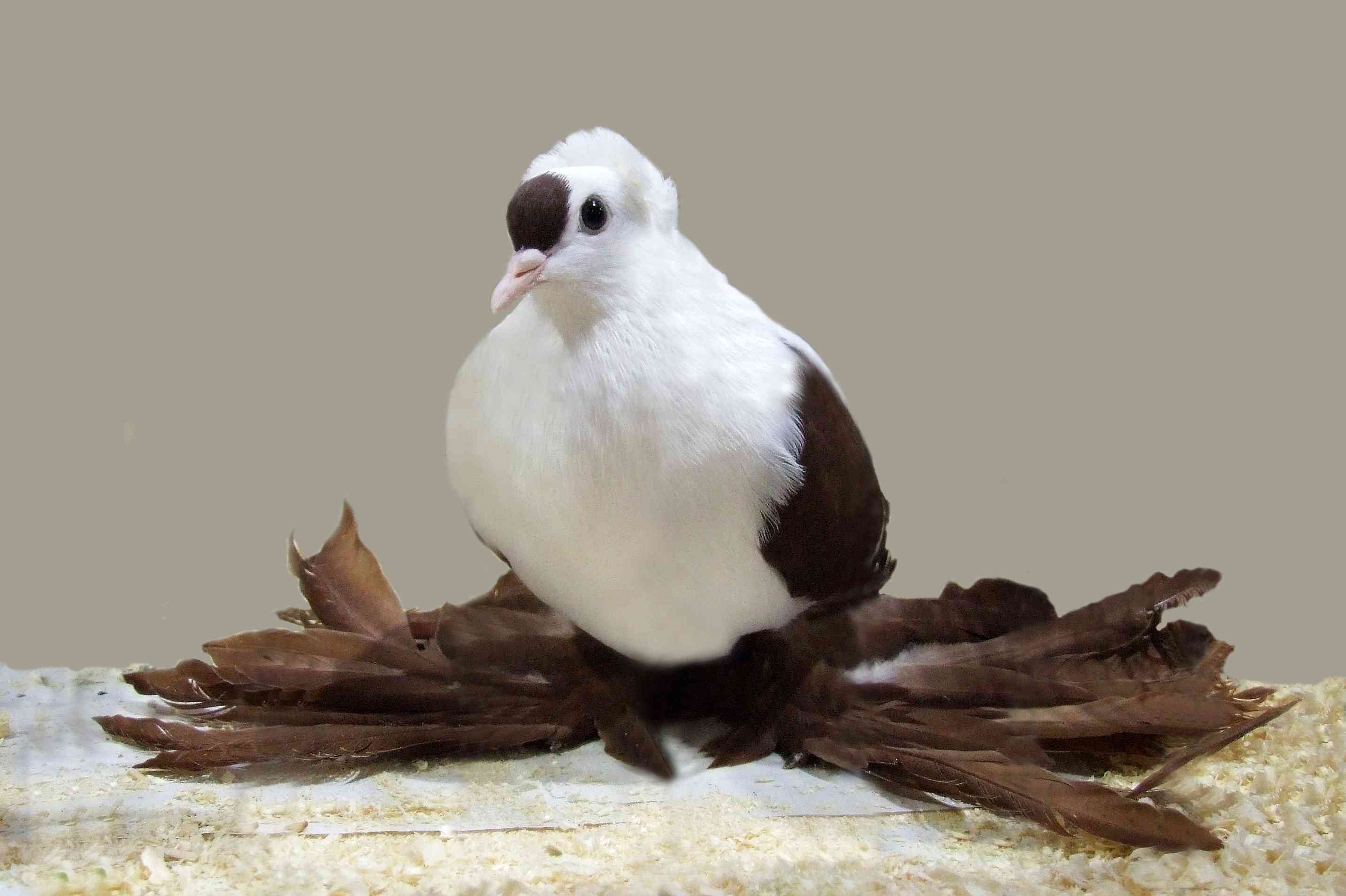 Saxon fairy swallow pigeon standing on sawdust