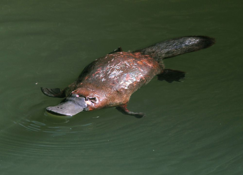 brown platypus swims in green water