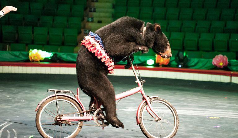 moon bear performs at a circus in Vietnam