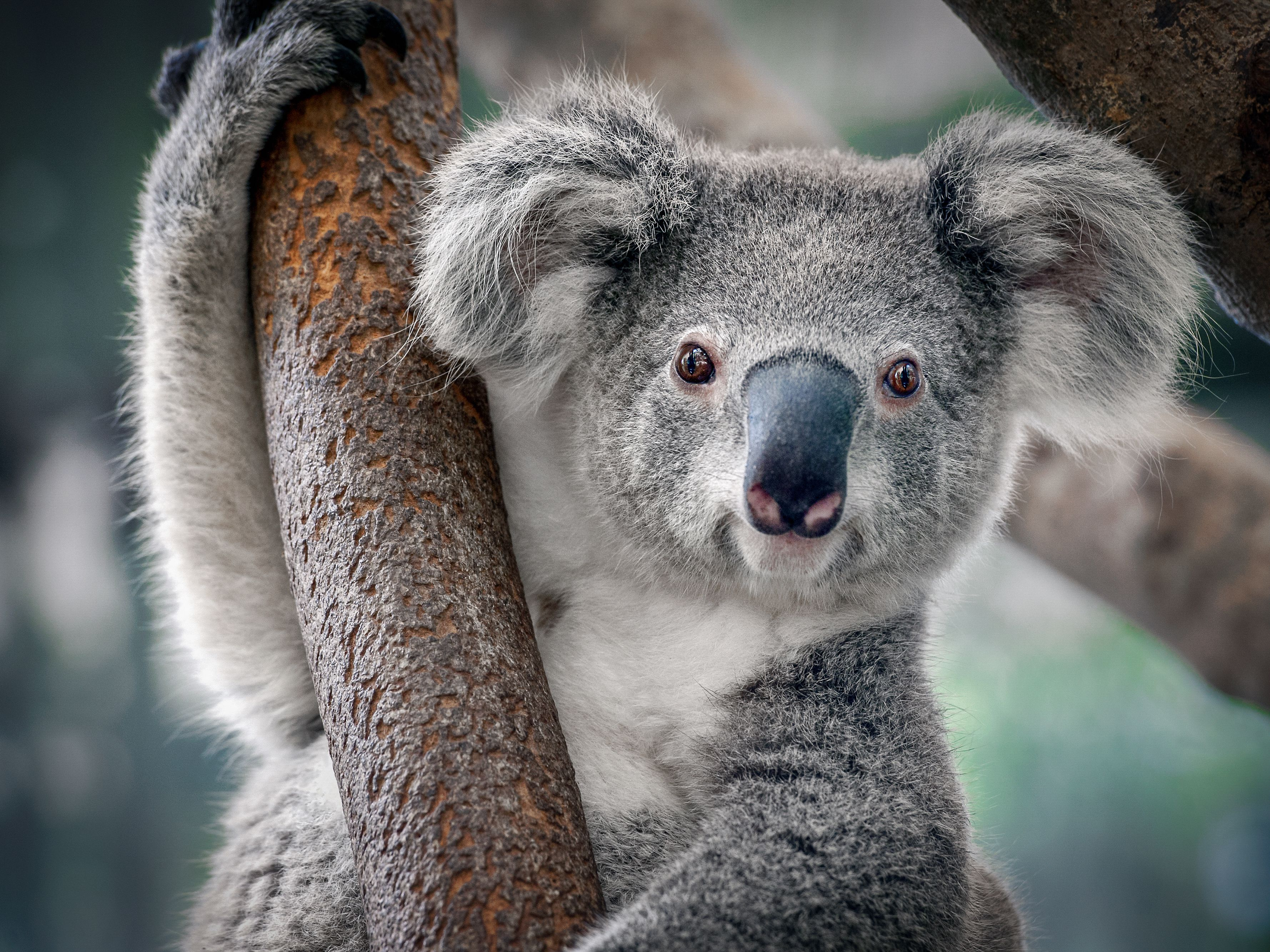 9 Things You Didn't Know About Koalas