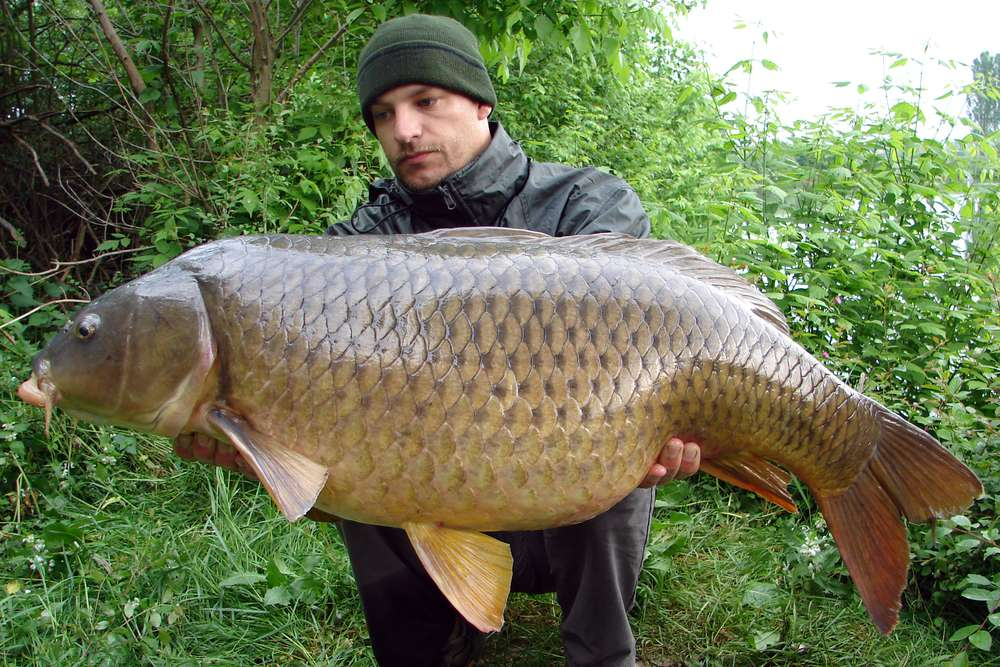 large common carp caught by fisherman
