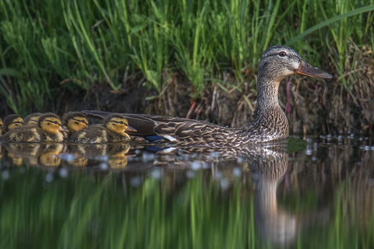 Mallard duck swimming with ducklings