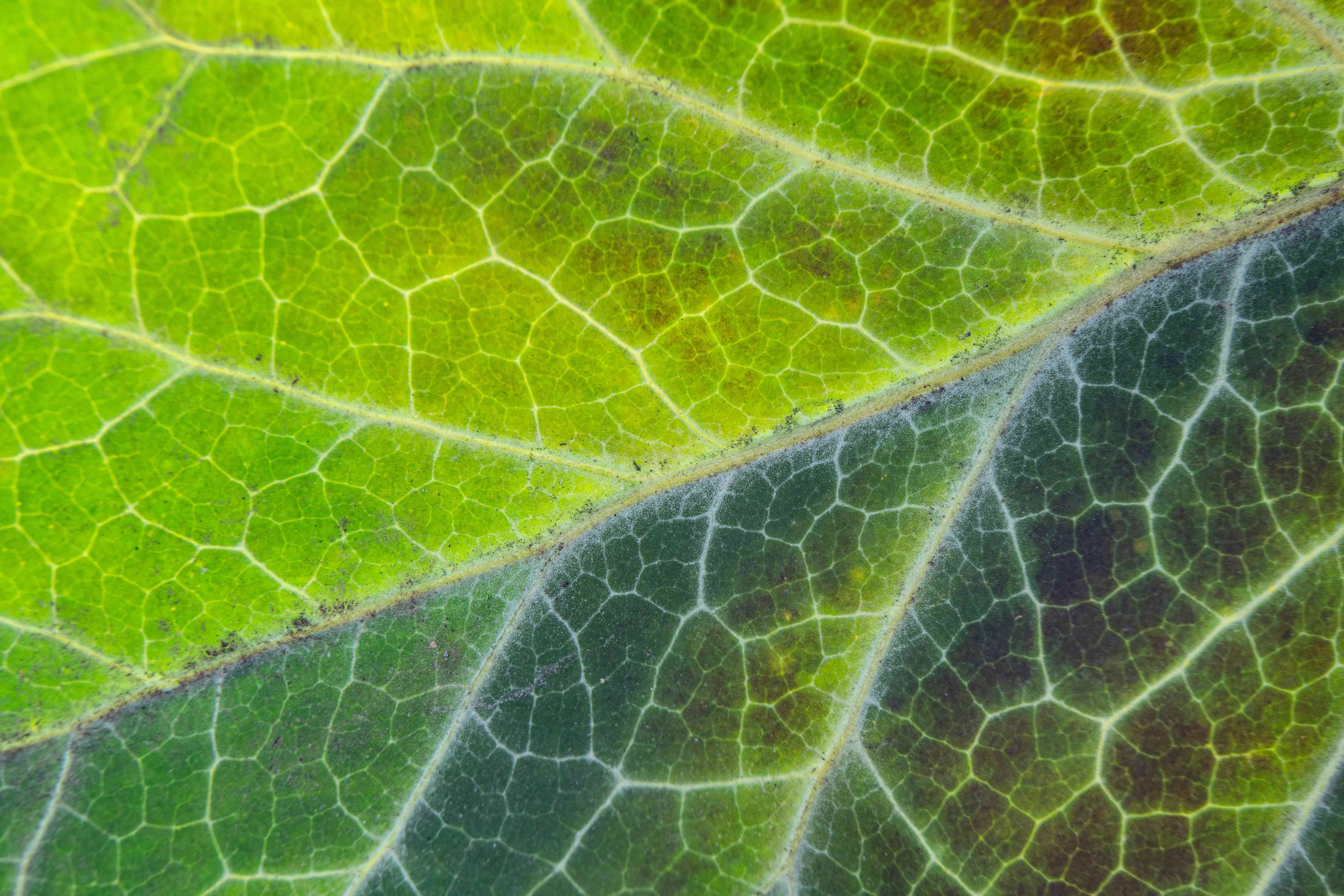 macro shot of green leaf veins with dark discoloration