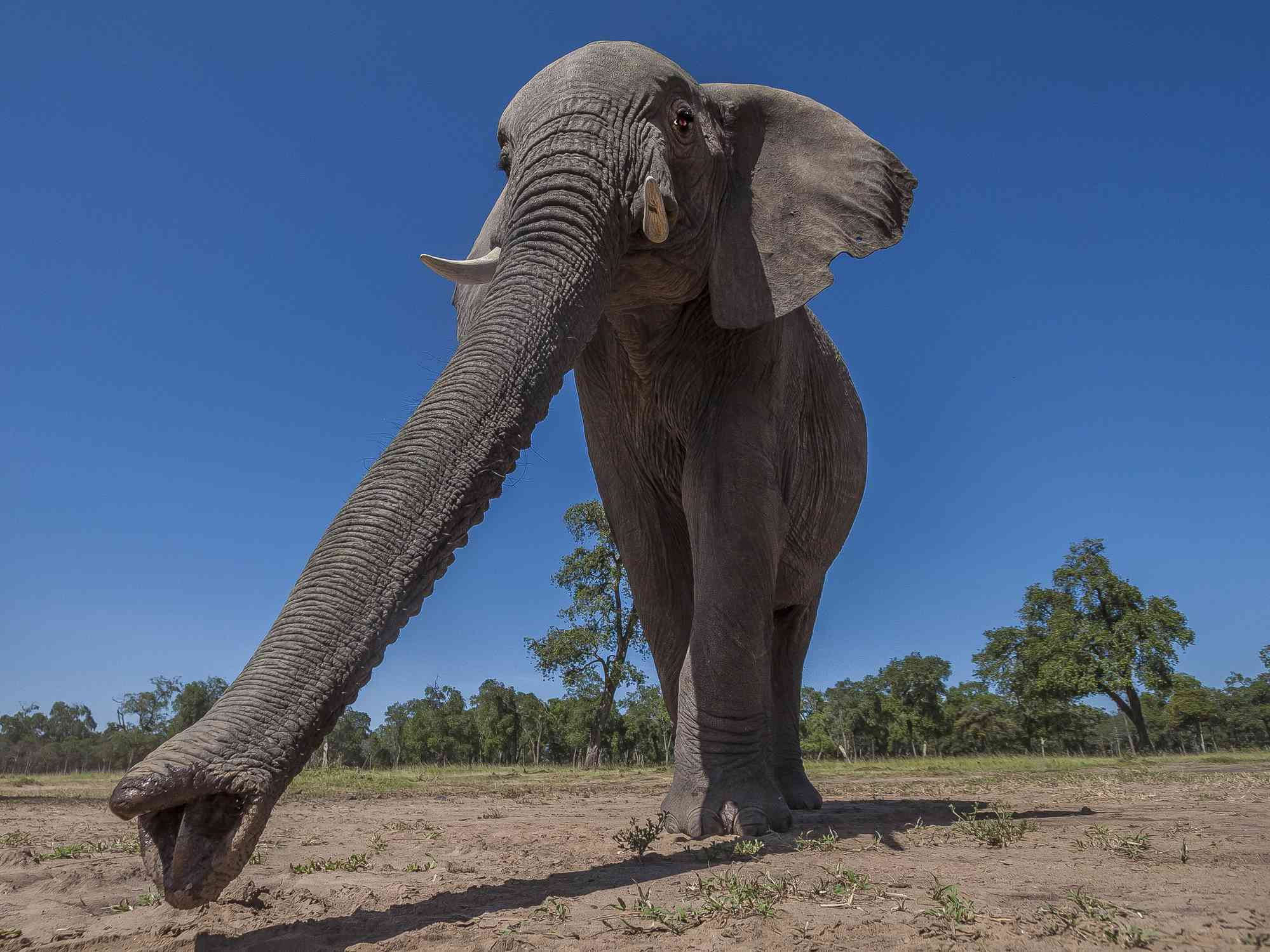 An elephant with its trunk outstretched walks on a path of dirt with green trees behind it.