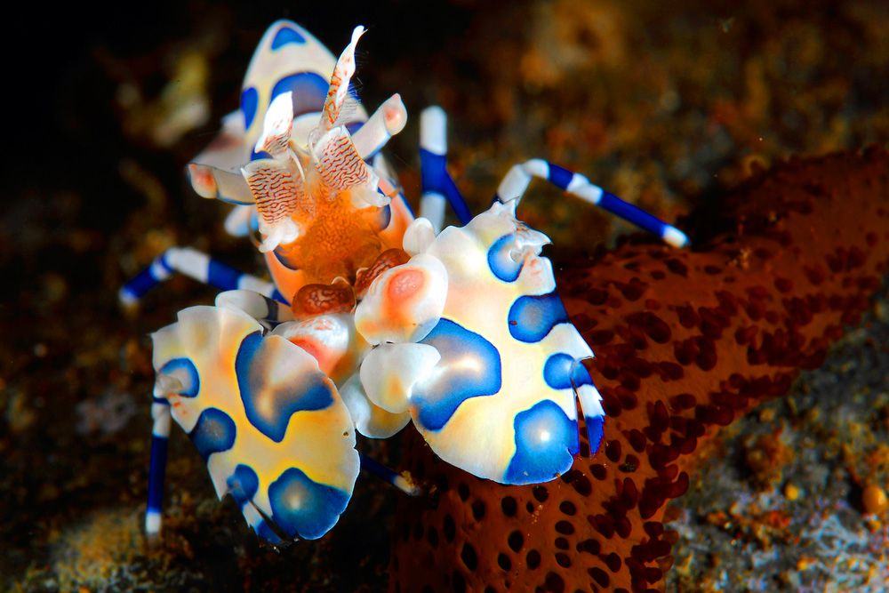 A white and blue spotted harlequin shrimp with an orange face on a reef
