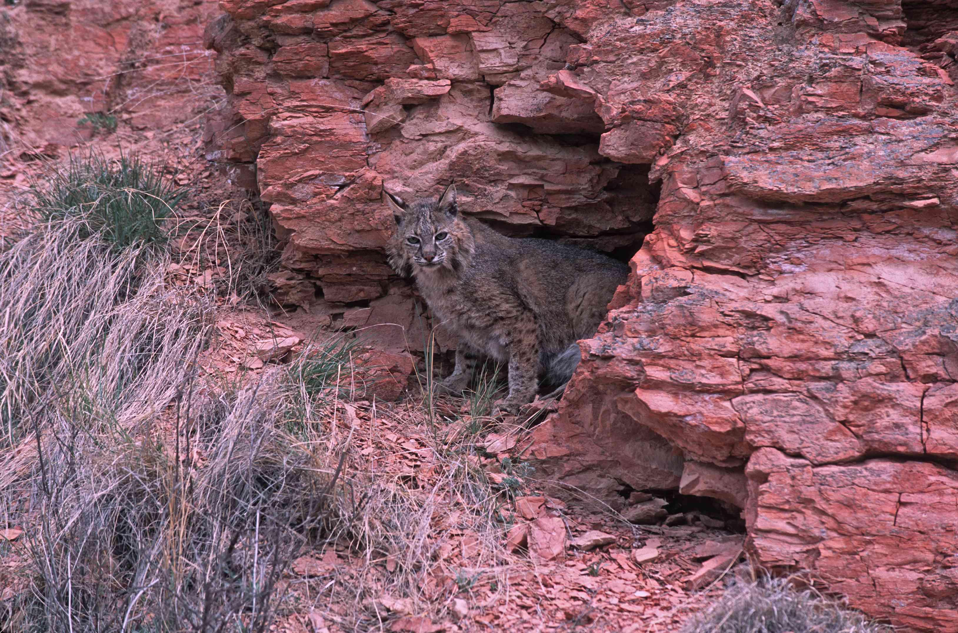 Bobcat at her red rock den