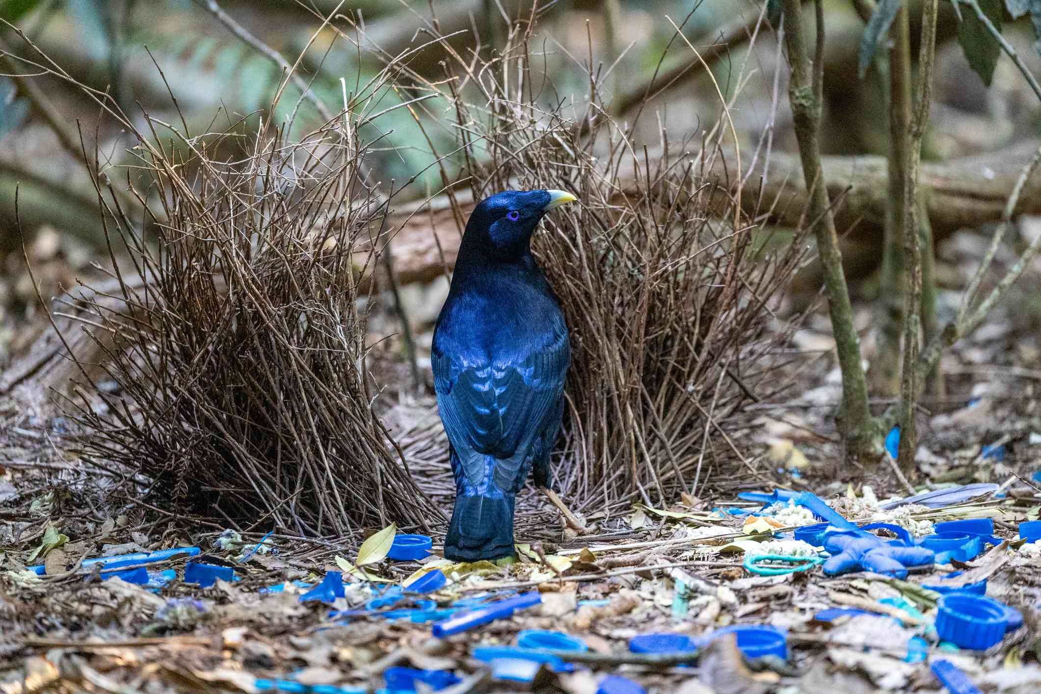 A male satin bowerbird next to his bower decorated with blue pieces of plastic