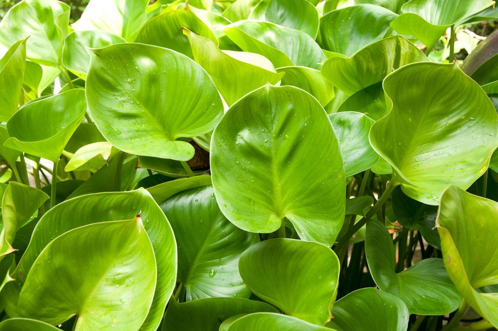 A close-up view of bright green, heart-shaped leaves