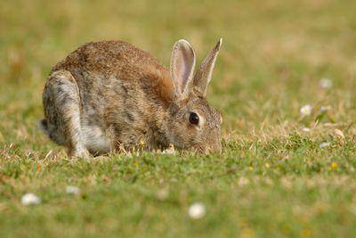 European wild rabbit eating grass