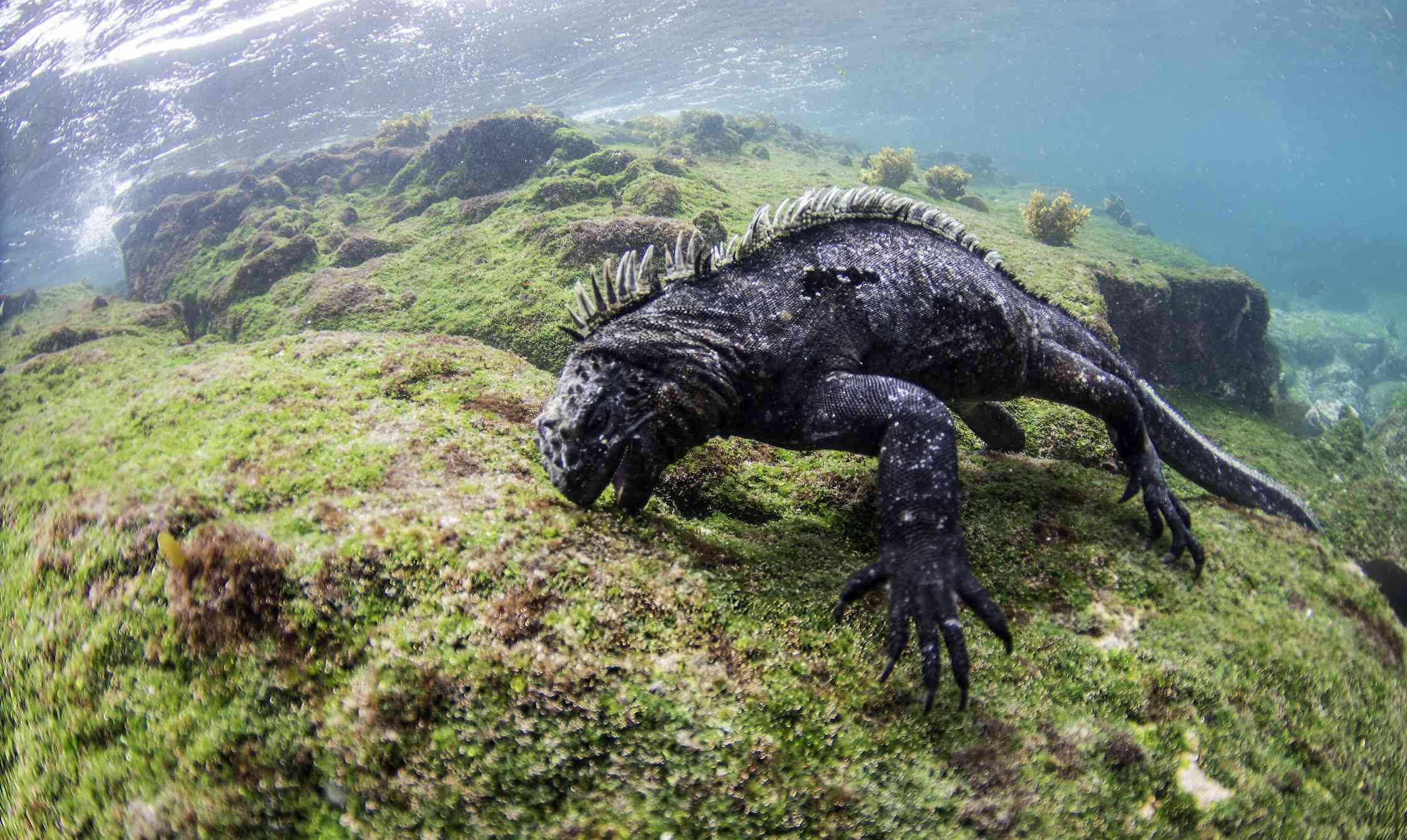 A marine iguana just below the water's surface eating algae off of a rock