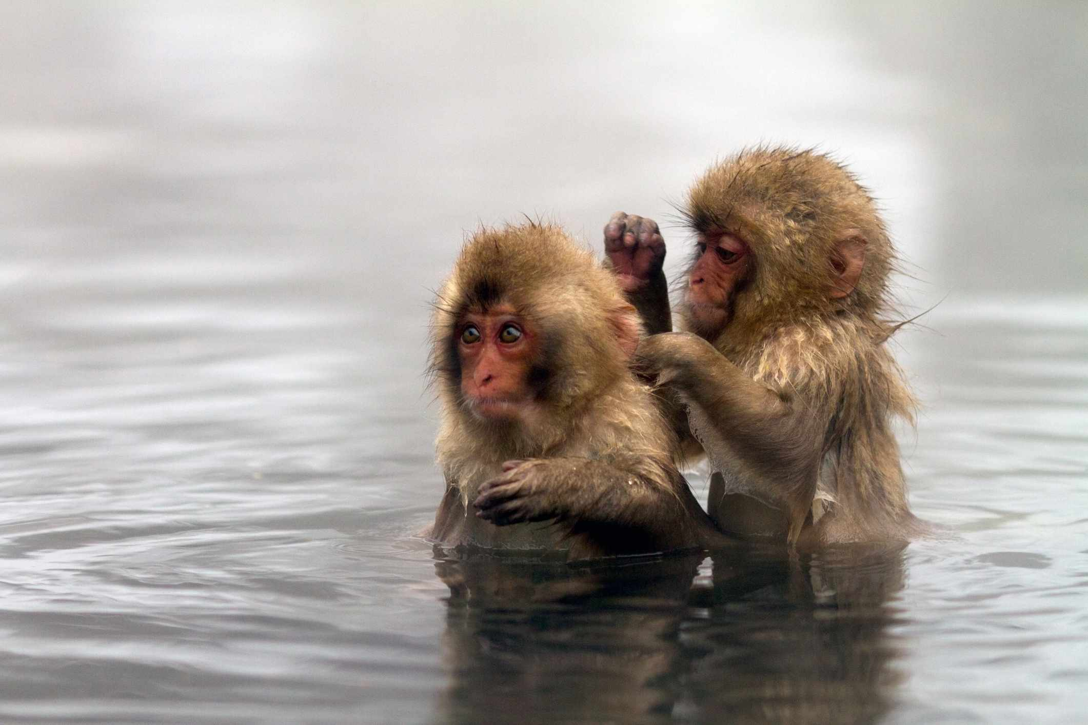 Two Japanese macaques standing in water, one cleaning the other