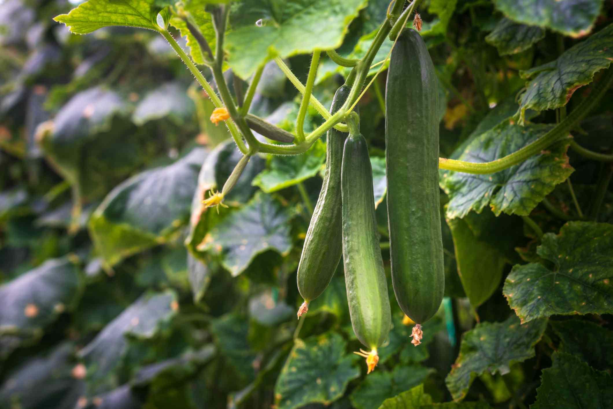 Cucumber grown in a greenhouse