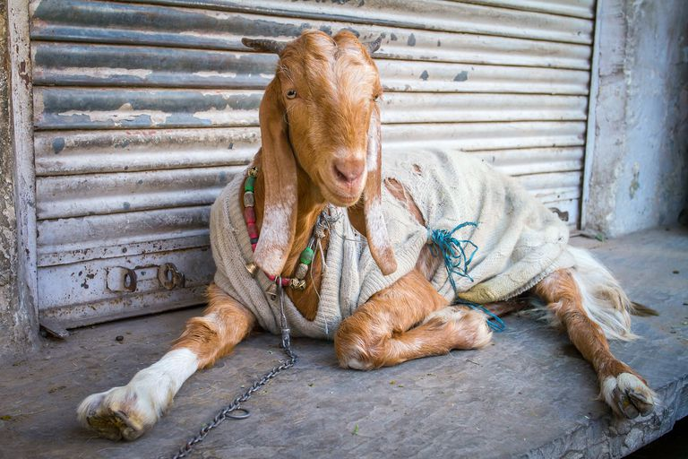 A goat wearing a sweater.