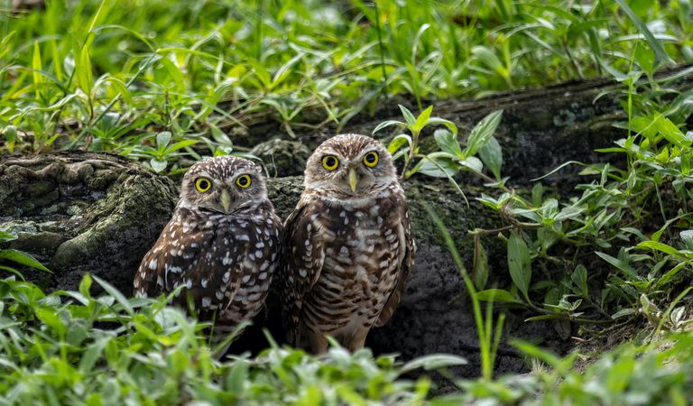 A pair of burrowing owls standing near the entrance to their burrow under a fallen tree branch surrounded by green grass