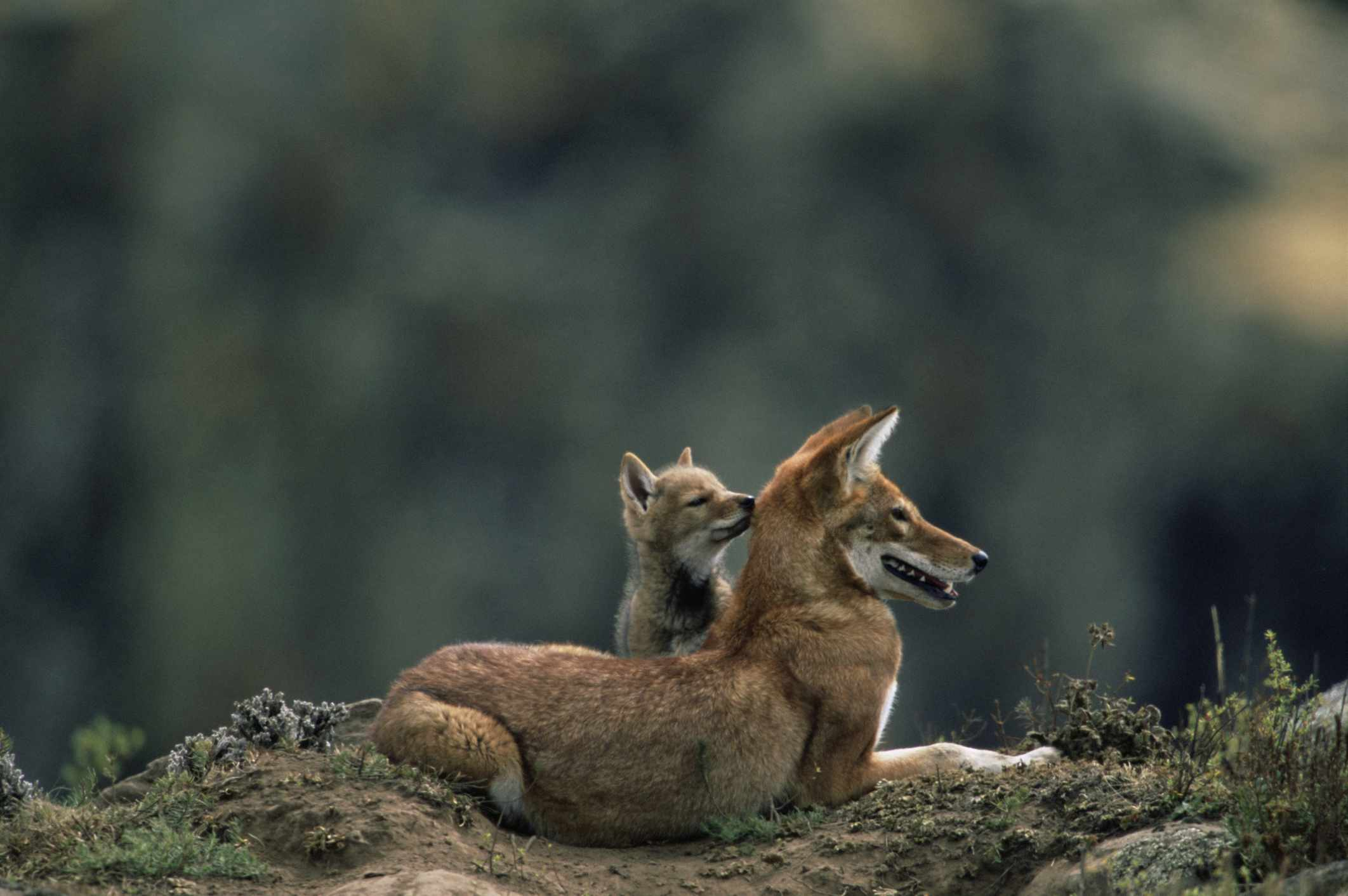 An Ethiopian wolf and cub in Bale Mountains National Park, Ethiopia.