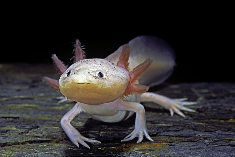 An axolotl with a pink-adorned crest on top of its head.