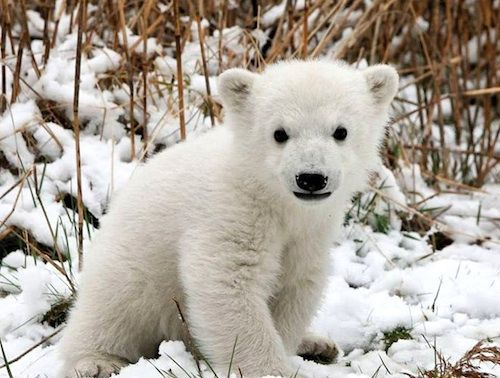 Polar bear cub photo.