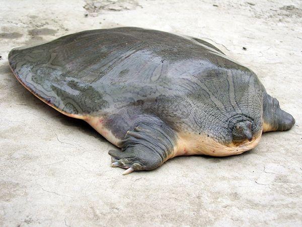 indian narrowheaded softshell turtle