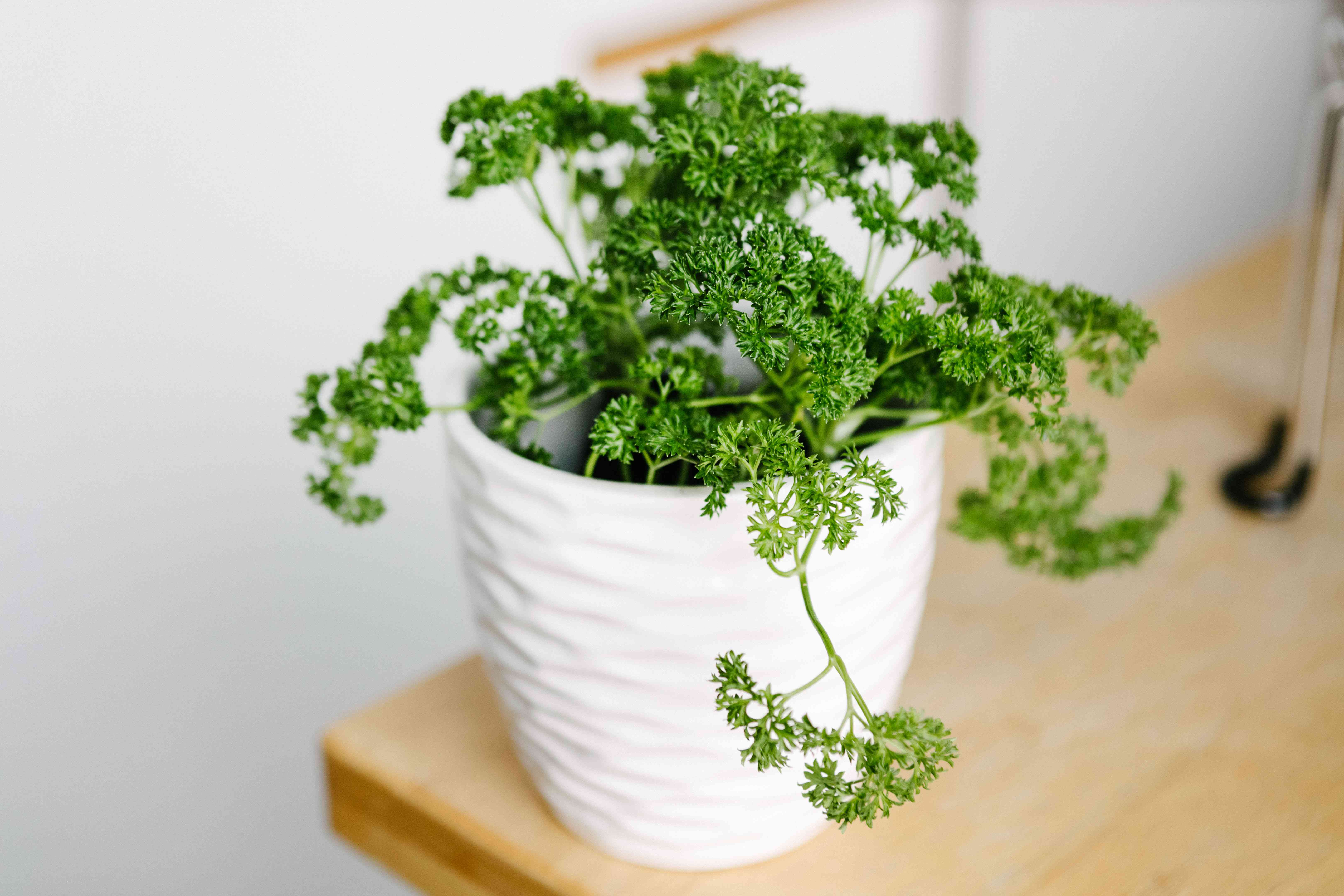 curly green parsley in white ridged planter pot on wooden table