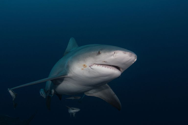 A close up of a Bull shark swimming in dark water.