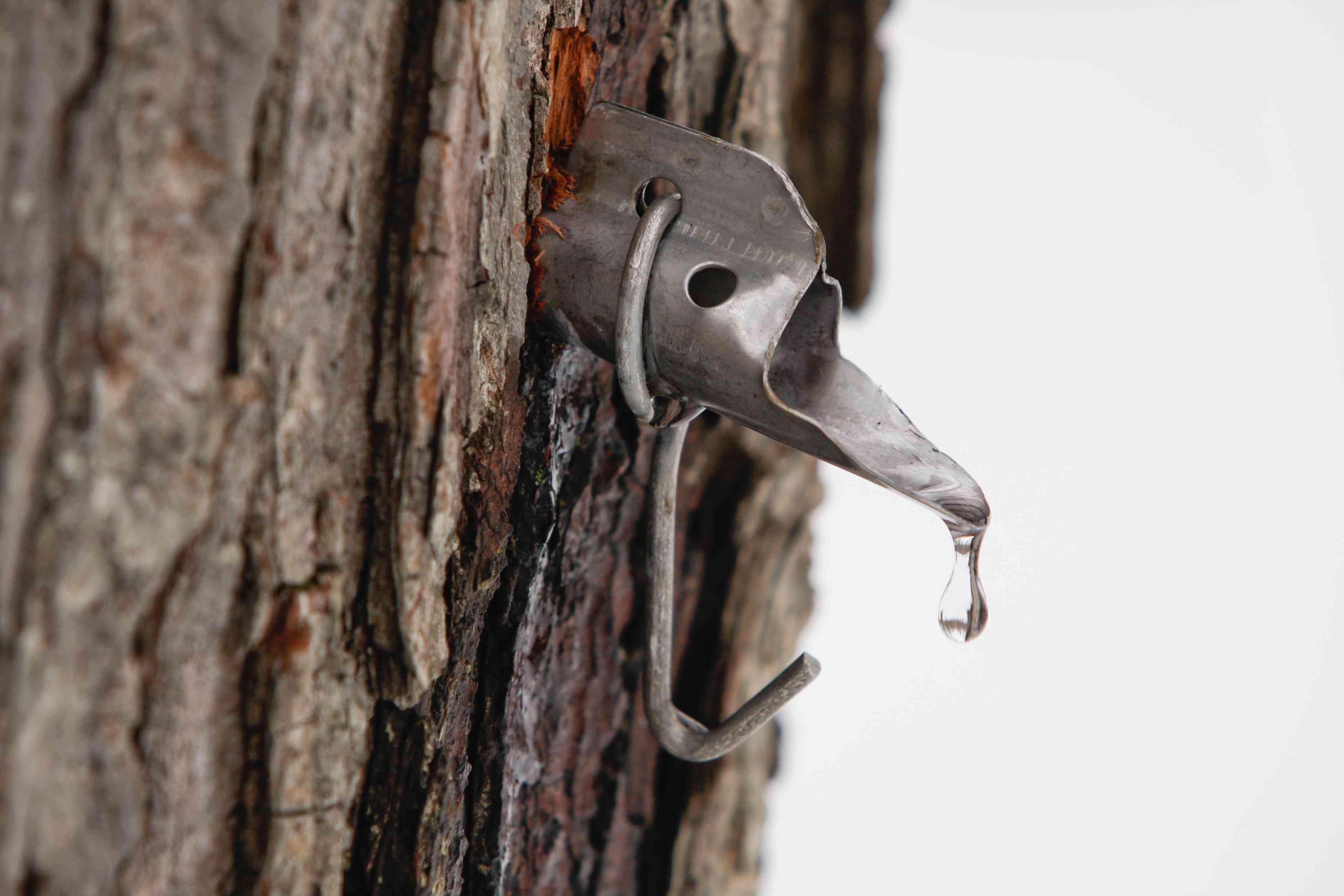 Maple sap droplet flowing from tap in tree, maple syrup health benefits
