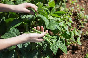 green beans growing in the garden, picking green beans
