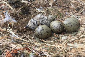 herring gull chick and eggs