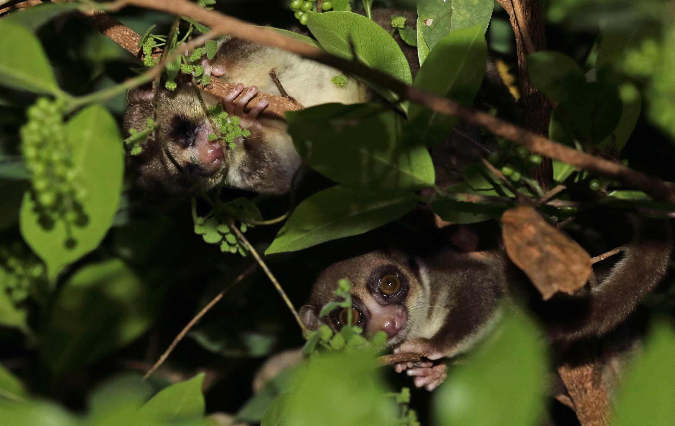 Fat-tailed Dwarf Lemur in tree at night.