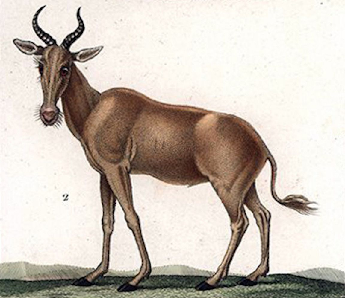 Hand colored, copperplate, stipple engraving of a bubal hartebeest