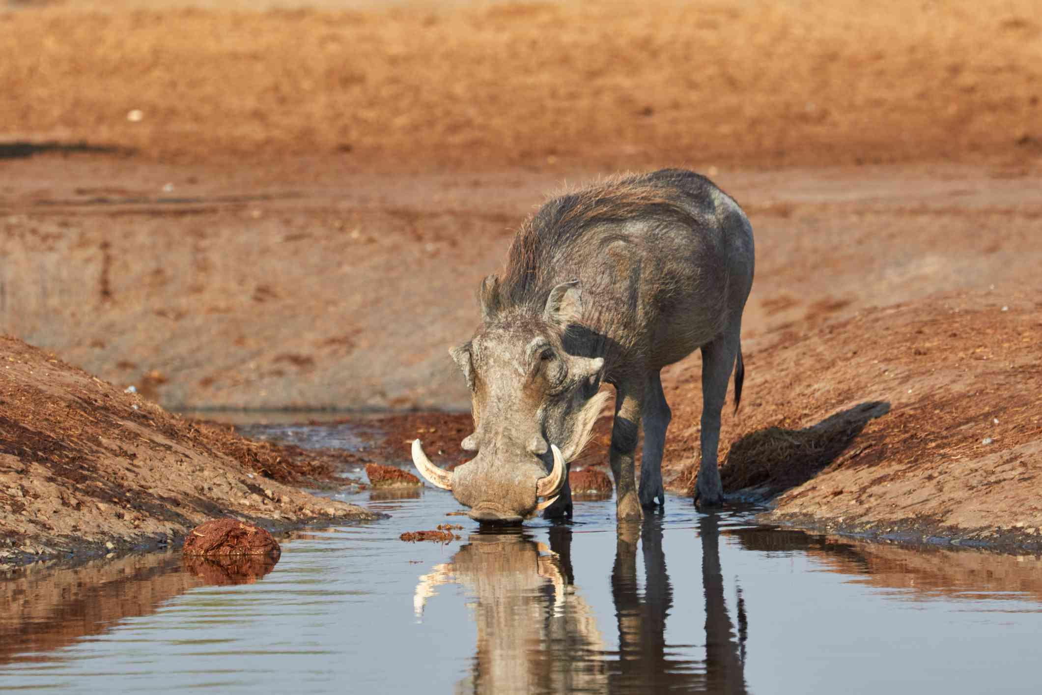 warthog drinking water at river