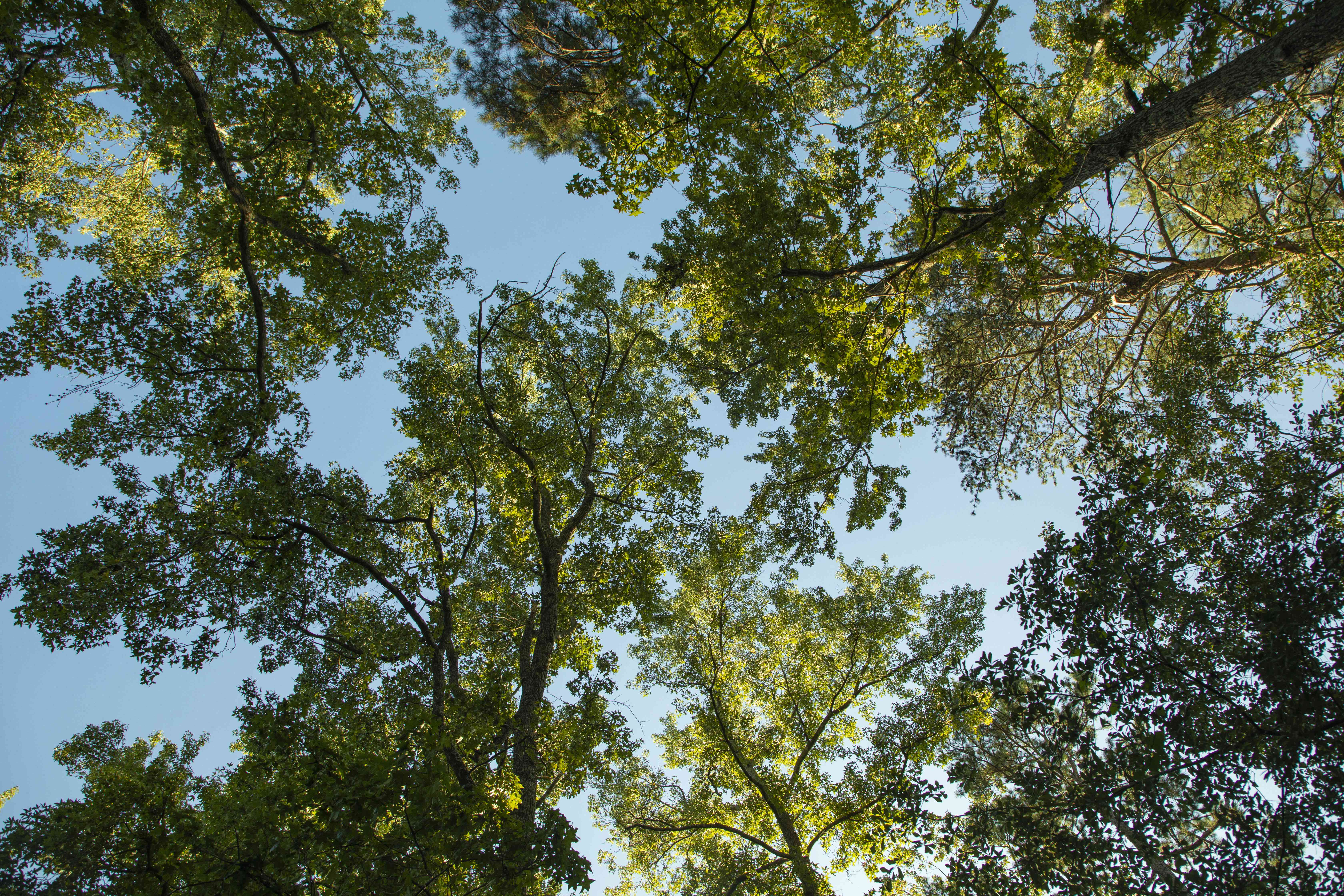 up shot of tall green trees and blue sky