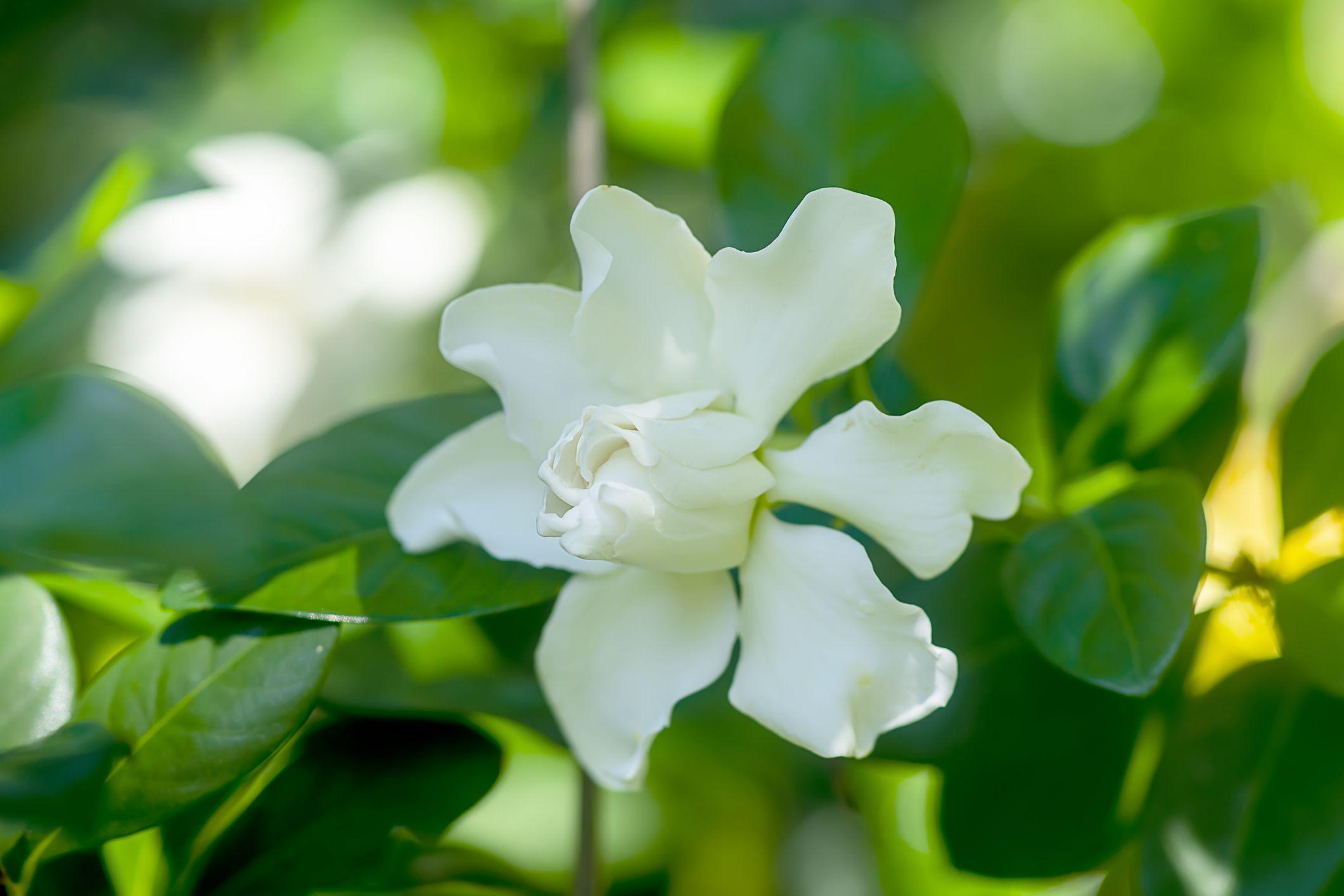Gardenia shrub with white flowers