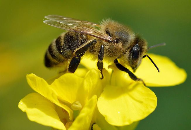 A honey bee sits on a flower