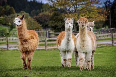 A group of alpacas on small farm