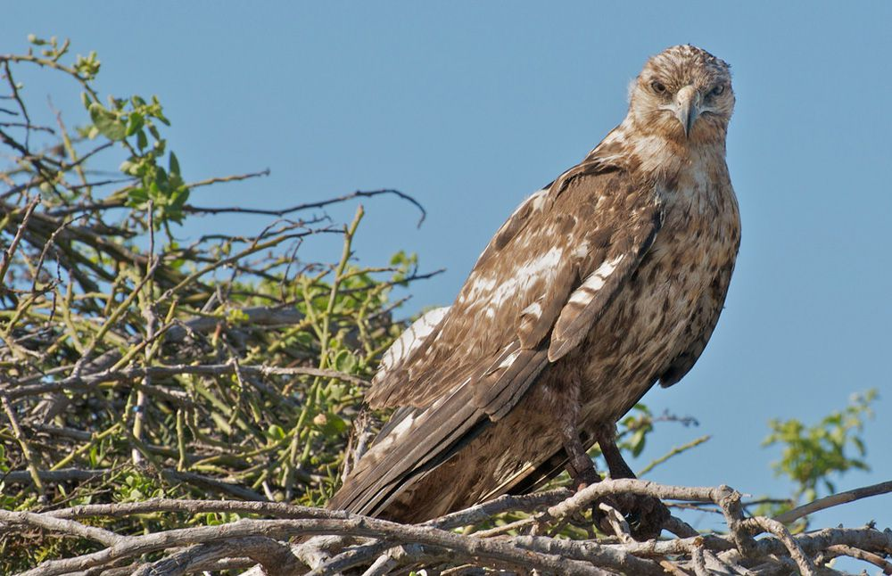 Hawk with cream colored and brown spotted plumage standing on a nest made of a pile of sticks