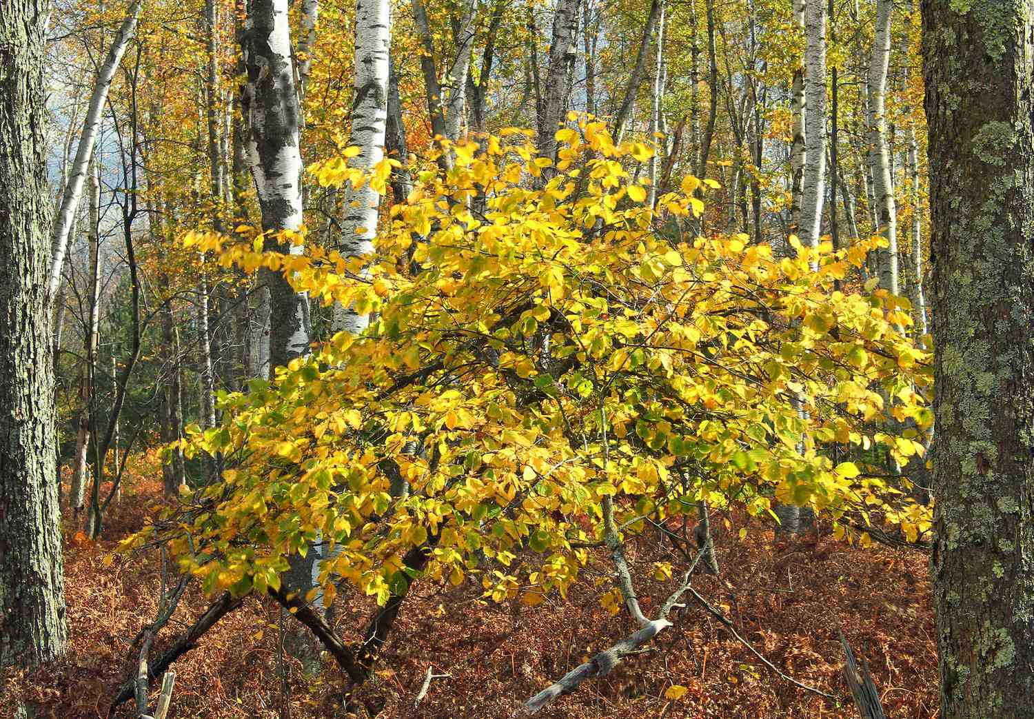 The bright yellow-orange leaves of a common witch hazel tree in full bloom