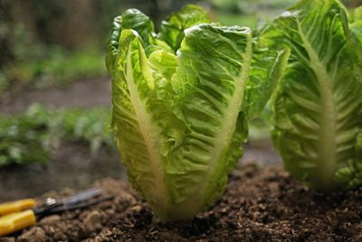 green lettuce grows out of dirt