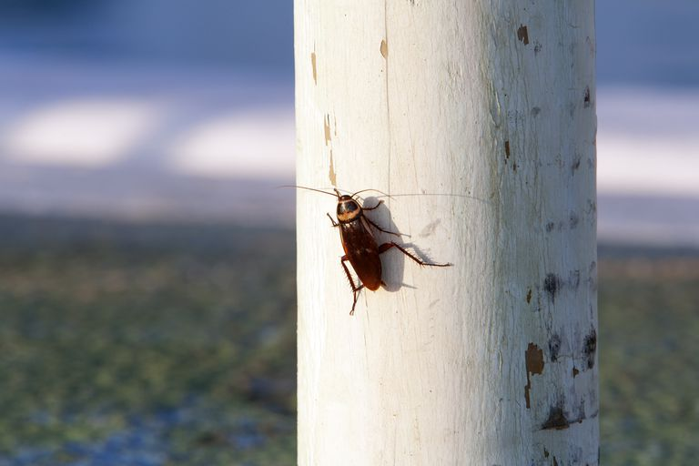 Cockroach on a white wooden pole