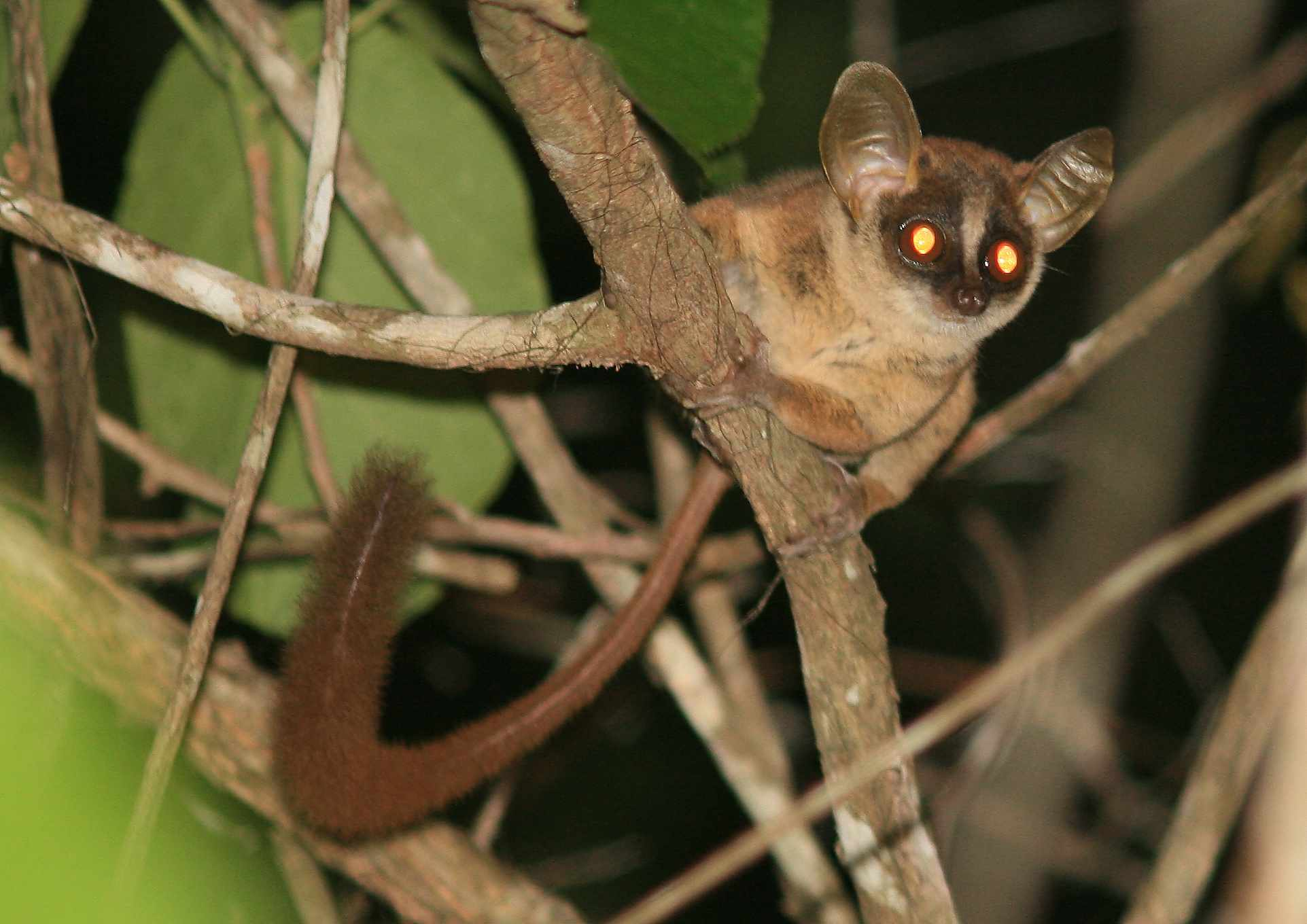 small brown lemur with glowing eyes hides on vine