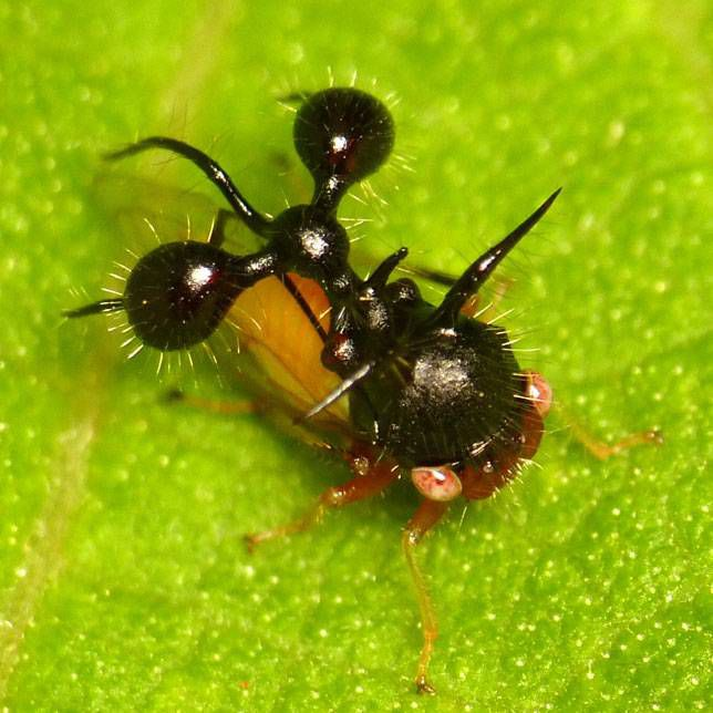 Treehopper mimicking an ant
