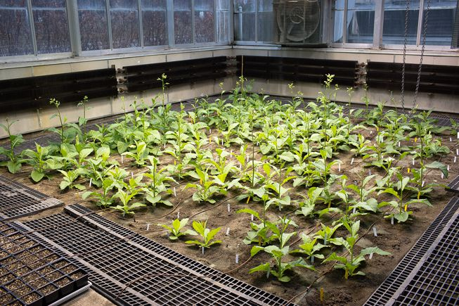 A RIPE greenhouse filled with genetically-modified tobacco plants