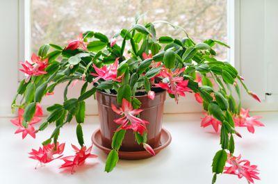 Christmas cactus (Schlumbergera)