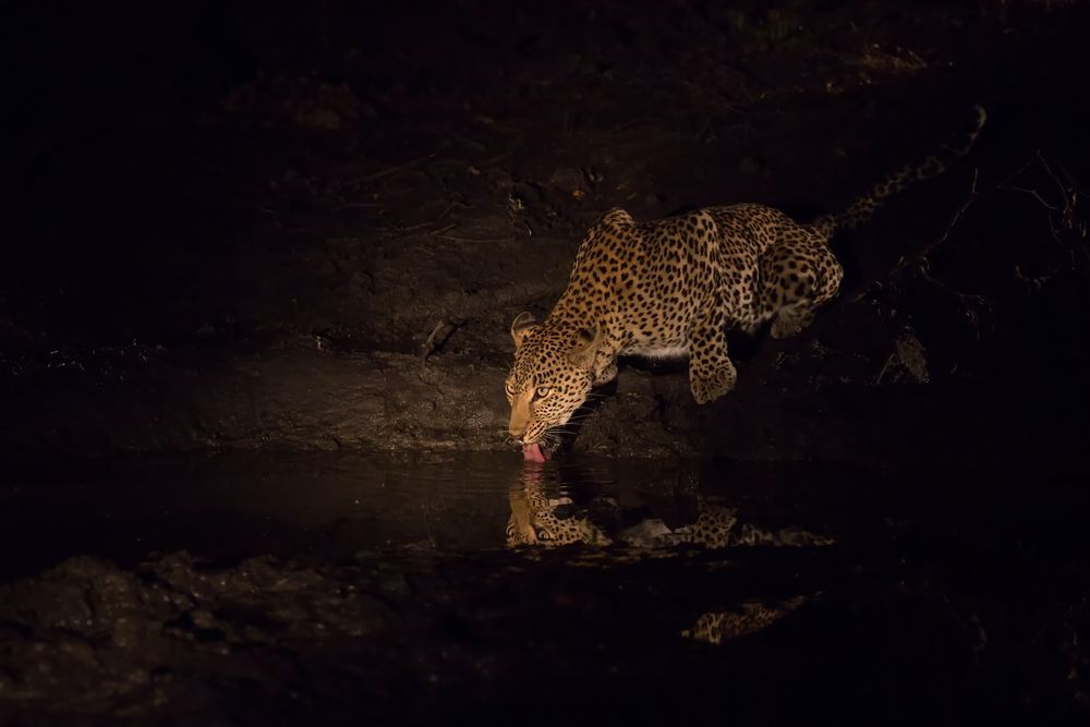 leopard drinking water from pond at night
