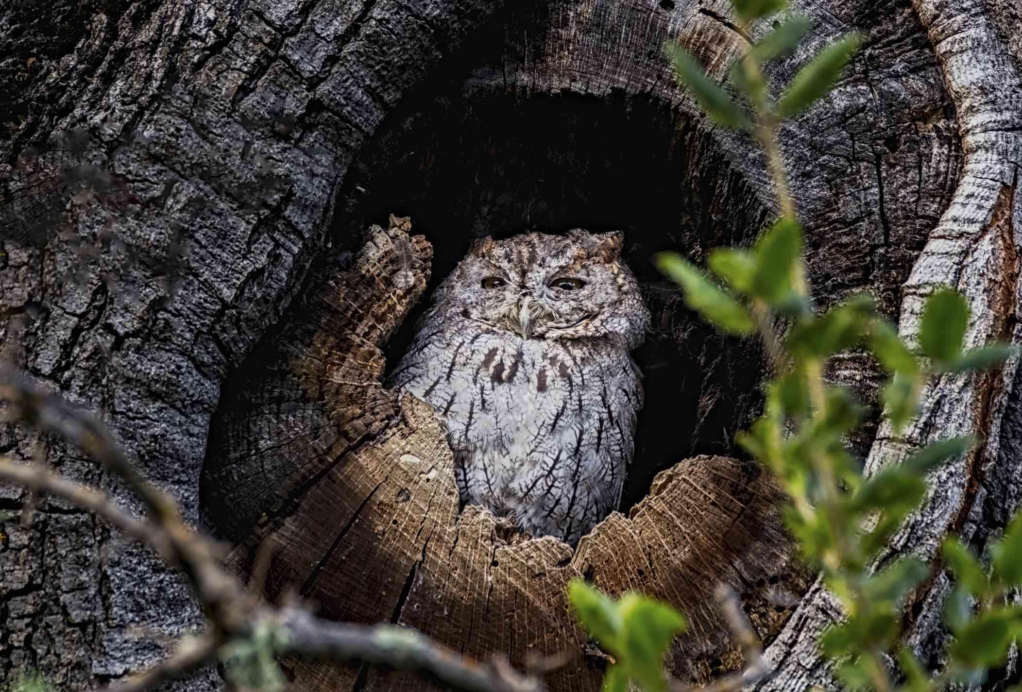 Western screech owl in a tree