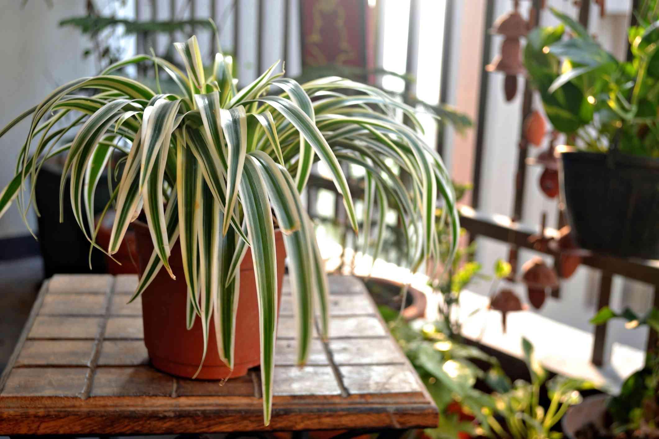 Chlorophytum comosum, ribbon plant, in a pot