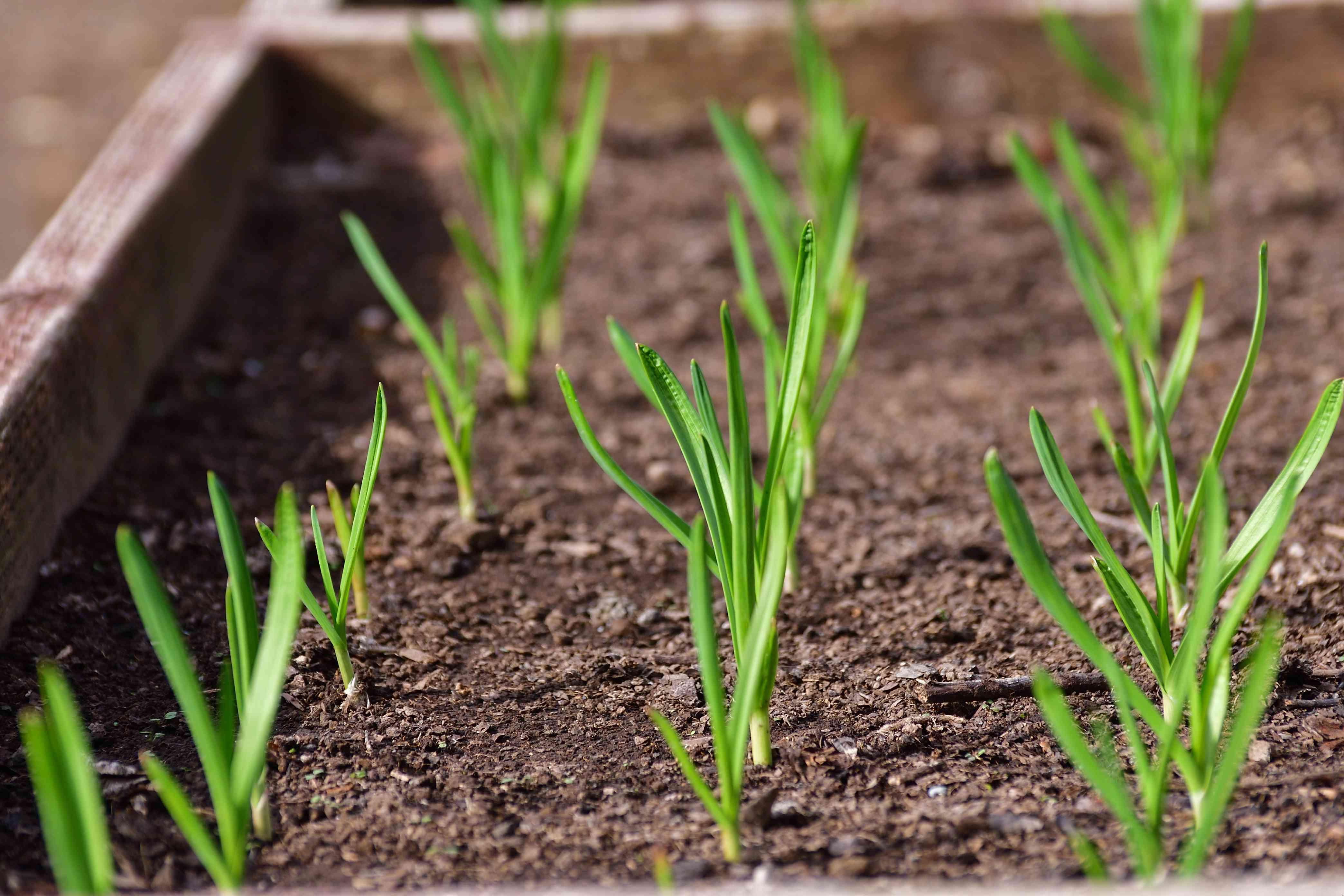 Sprouted garlic in raised garden beds grown as winter crop