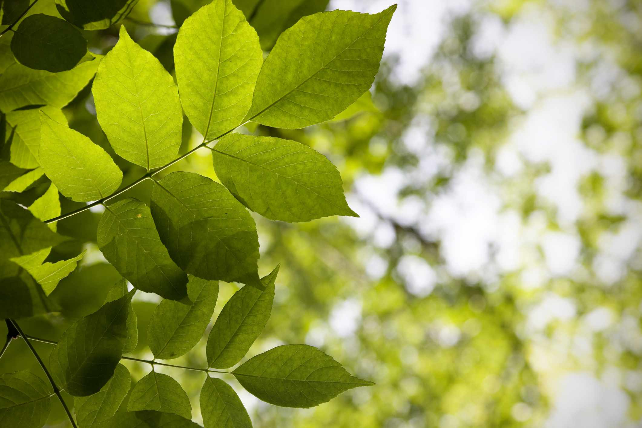 Green leaves backlit on a White Ash tree.