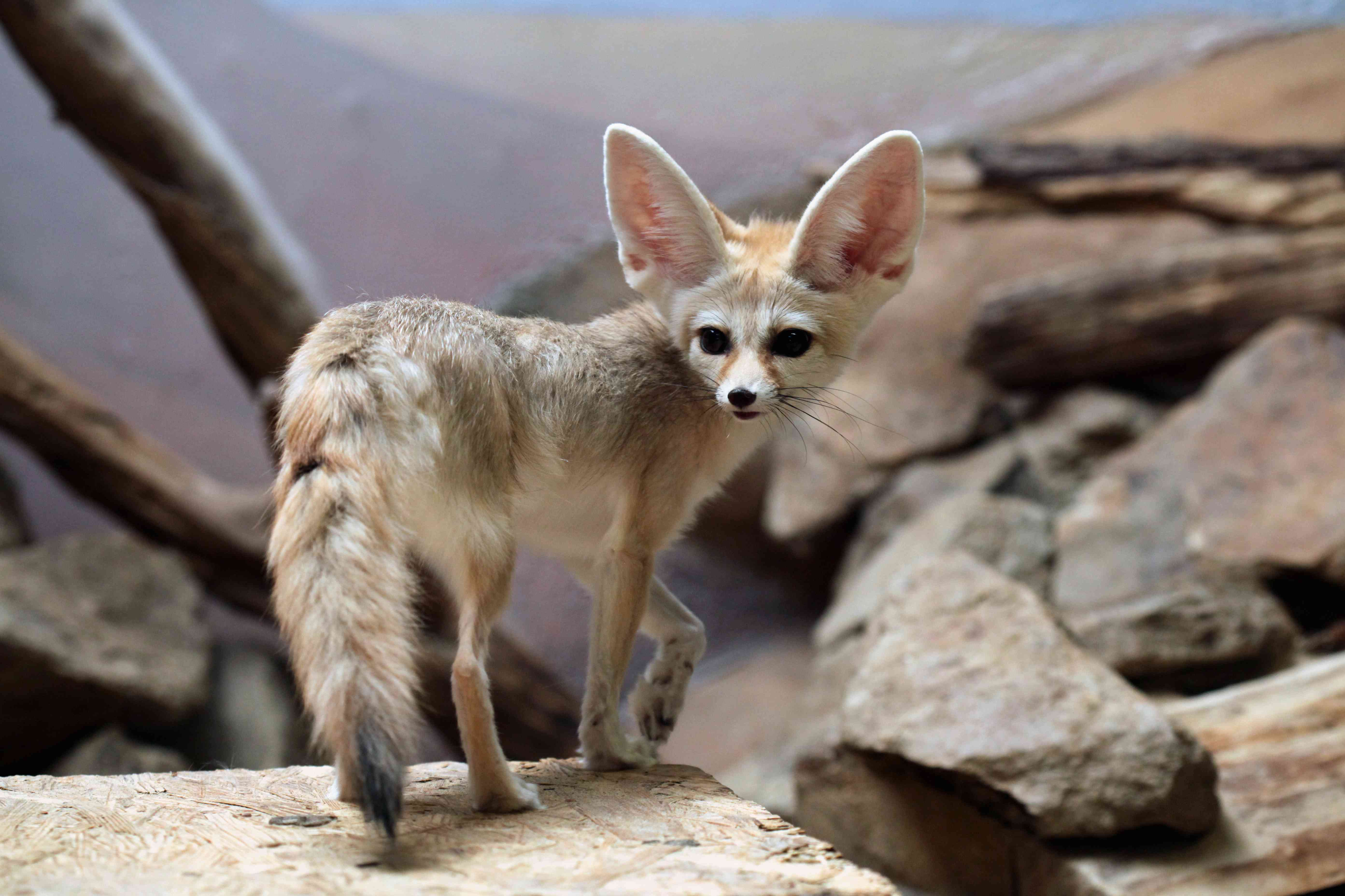 A fennec fox stands on a rock